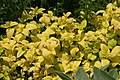 Melissa officinalis All Gold 2zz.jpg