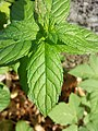 Mentha spicata sl5.jpg
