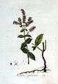 Mentha sylvestris — Flora Batava — Volume v3.jpg