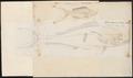Mesoprion chrysurus - 1774-1804 - Print - Iconographia Zoologica - Special Collections University of Amsterdam - UBA01 IZ12900294.tif