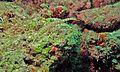 Messmate Pipefish (Corythoichthys haematopterus) (6085825941).jpg