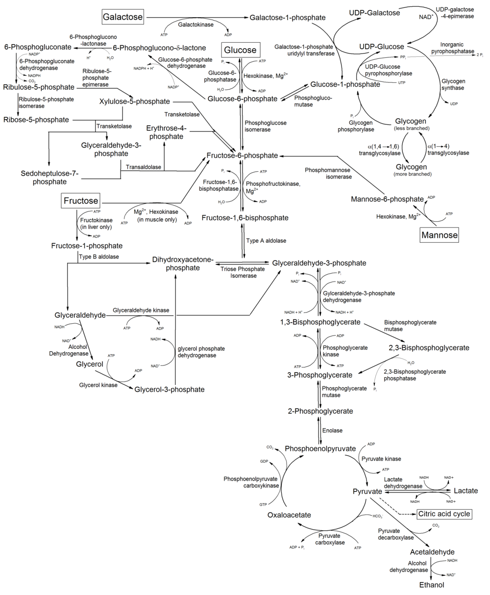 Glycolysis wikipedia metabolism of common monosaccharides and related reactionsg ccuart Choice Image