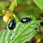 Metallic blue flea beetles (Altica sp.) (6528246639).jpg