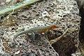 Microlophus indefatigabilis Santa Cruz Island Galápagos Ecuador DSC00250 ad.JPG
