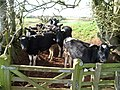 Mid Devon , Cows Looking - geograph.org.uk - 1257215.jpg
