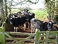Mid Devon , Cows Looking - geograph.org.uk - 1257215.jpg