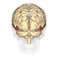 Middle temporal gyrus posterior.png