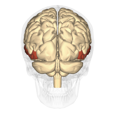 file:middle temporal gyrus posterior - wikimedia commons, Human Body