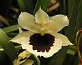 Miltoniopsis Lillian Nakamoto Tanto -香港動植物公園 Hong Kong Botanical Garden- (9216069544).jpg