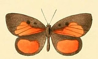 <i>Mimeresia libentina</i>
