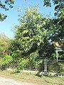 Mimosa des 4 saisons.jpg