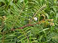 Mimosa pudica-IMG 0743.JPG