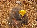 Mimus polyglottos two days old 05.jpg