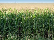 a field of nearly mature corn