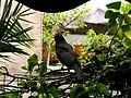 Mirlo (el constructor del nido de mi hiedra) (8880052772).jpg