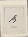 Mniotilta varia - 1700-1880 - Print - Iconographia Zoologica - Special Collections University of Amsterdam - UBA01 IZ16300005.tif
