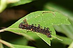 Moduza procris-Kadavoor-2016-07-26-001.jpg