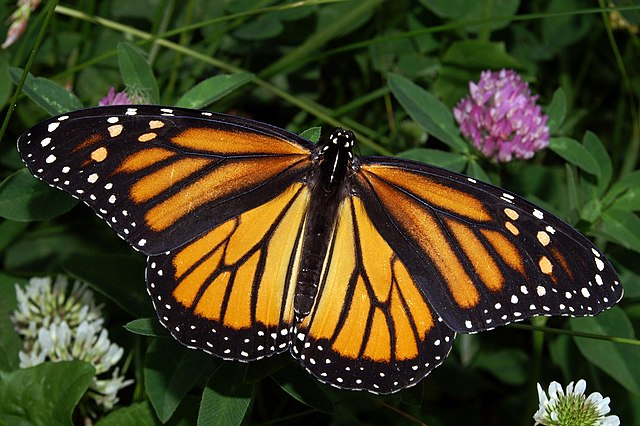 The Vanishing Monarch Butterfly
