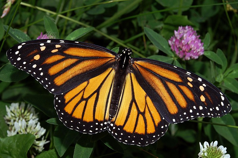 Female Monarch Butterfly Image