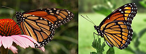 Viceroy (butterfly) - Monarch (left) and viceroy (right) butterflies exhibiting Müllerian mimicry