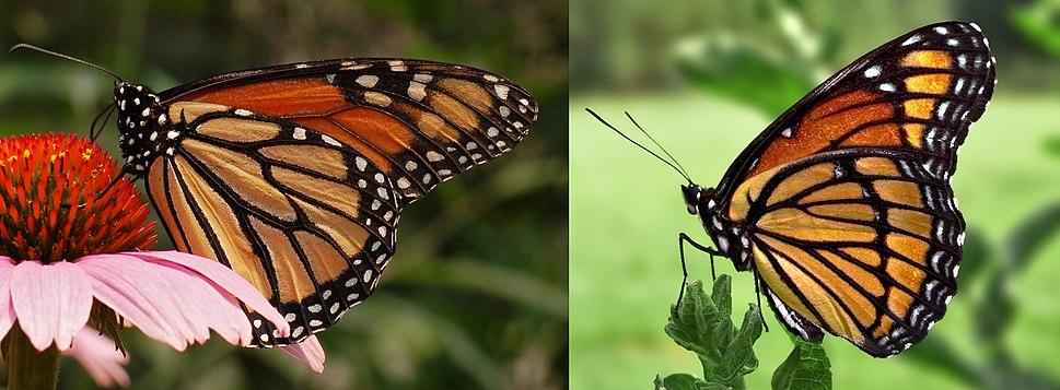 Monarch Viceroy Mimicry Comparison