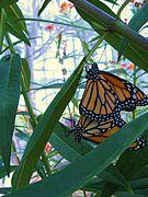 Monarchs mating LGBG.JPG