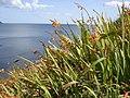 Montbretia - Crocosmia x crocosmiflora - geograph.org.uk - 1477518.jpg