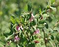 Mountain snowberry Symphoricarpus rotundifolius flowers.jpg