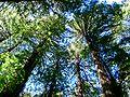 Muir Wood10.JPG