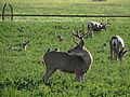 Mule Deer, Washoe Valley, Nevada (21155874899).jpg