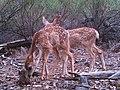 Mule deer fawns (6492409089).jpg