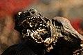 Mummified marine iguana (4202542664).jpg