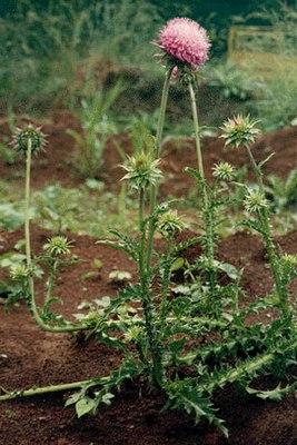 как выглядит чертополох растение