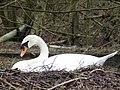 Mute Swan Nest 05-04-10 (4495037886).jpg