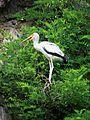 Mycteria ibis 473.jpg