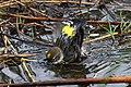 Myrtle Warbler - Dendroica coronata, Babcock-Webb Wildlife Management Area, Punta Gorda, Florida - 8266250738.jpg
