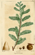 NAS-151 Taxodium distichum.png