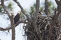 NASA Kennedy Wildlife - Bald Eagle (8).jpg
