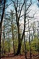 NSG Heiliges Meer Quercus rubra.jpg