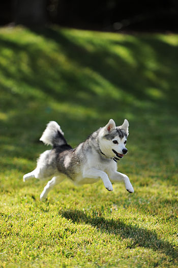 English: A healthy miniature Alaskan Klee Kai ...