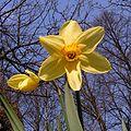 Narcissus20090505 27.jpg