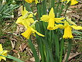 Narcissus February Gold02.jpg