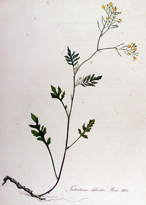 Wilde Sumpfkresse (Rorippa sylvestris), Illustration