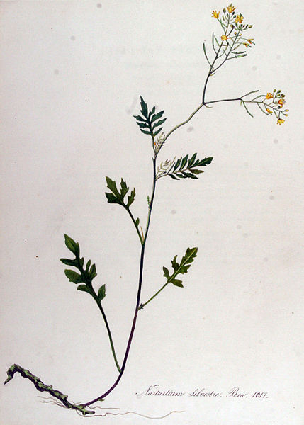 File:Nasturtium sylvestre — Flora Batava — Volume v13.jpg