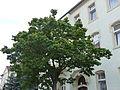Naturdenkmal Japanischer Flieder Gustav-Freytag-Straße 30 Dresden 04.JPG