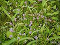 Neanotis lancifolia (6031903765).jpg