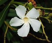 Nerium oleander September 2007-1.jpg