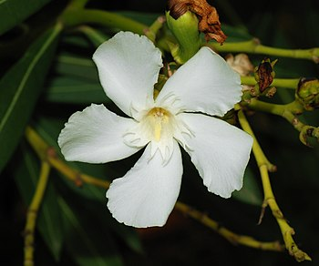White flower of an oleander (Nerium oleander)