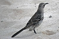 Nesomimus macdonaldi -Espanola, Galapagos, Ecuador-8 (2).jpg