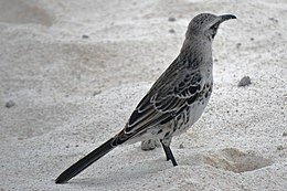 Nesomimus macdonaldi -Espanola, Galapagos, Ecuador-8 (2)